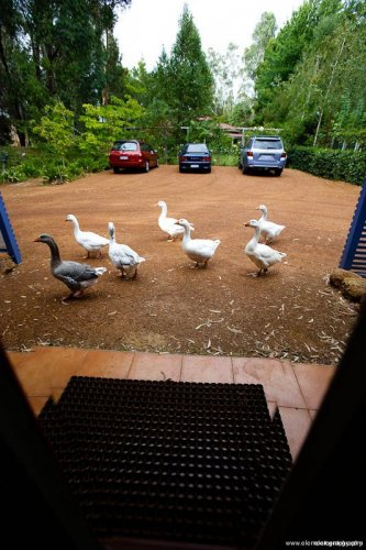 The Geese At Your Door