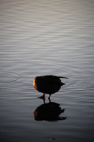 Half a Holy Duck